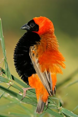 puffed: Male red bishop bird (Euplectes orix) displaying with puffed feathers, South Africa