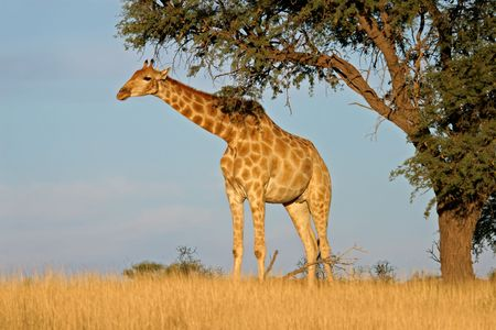 giraffa camelopardalis: A giraffe (Giraffa camelopardalis) under a camel thorn (Acacia erioloba) tree, Kalahari desert, South Africa