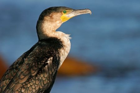 carbo: Portrait of a White-breasted cormorant (Phalacrocorax carbo), South Africa