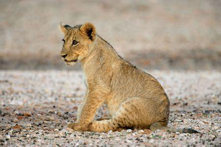 Young lion cub (Panthera leo), Kalahari desert, South Africa photo