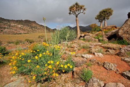 dichotoma: Landscape with wild flowers and quiver trees (Aloe dichotoma), Namaqualand, South Africa
