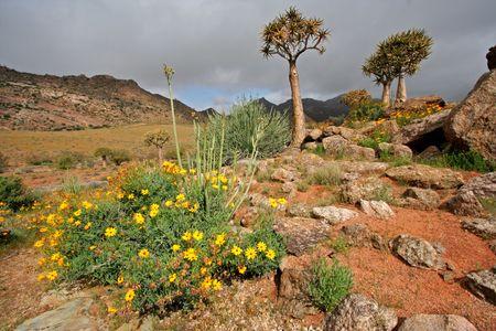quiver: Landschap met wilde bloemen en bomen van de trilling (Aloë dichotoma), Namaqualand, Zuid-Afrika