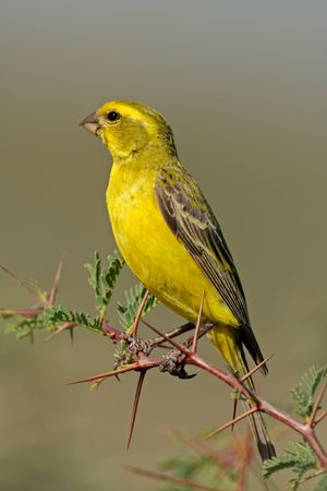 wild canary: Yellow canary (Serinus mozambicus) perched on a branch, Kalahari, South Africa