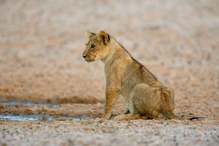 kalahari: Young lion cub (Panthera leo), Kalahari desert, South Africa