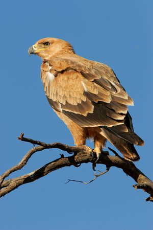 Tawny eagle (Aquila rapax) perched on a branch, Kalahari desert, South Africa Stock Photo - 3118016