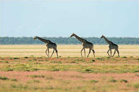 Three giraffes (Giraffa camelopardalis), walking over the vast plains of the Etosha National Park, Namibia, southern Africa Stock Photo - 3143986
