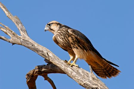lanner: Lanner falcon (Falco biarmicus) perched on a branch, Kalahari desert, South Africa Stock Photo
