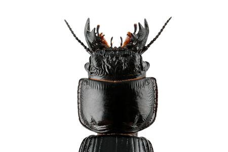 ground beetle: Close-up of the head of an African burrowing ground beetle (Passalidius fortipes) on white