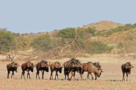 taurinus: Blue wildebeest (Connochaetes taurinus) walking in dry riverbed, Kalahari desert, South Africa Stock Photo
