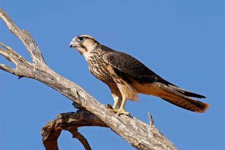 Lanner falcon (Falco biarmicus) perched on a branch, Kalahari desert, South Africa Stock Photo - 3272647