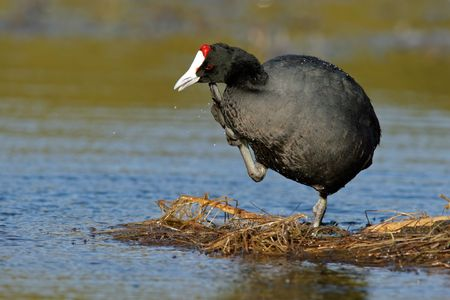 A redknobbed coot (Fulica cristata) standing on floating vegetation, South Africa Stock Photo - 3291565