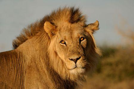 Portrait of a big male African lion (Panthera leo), Kalahari desert, South Africa Stock Photo - 3327186