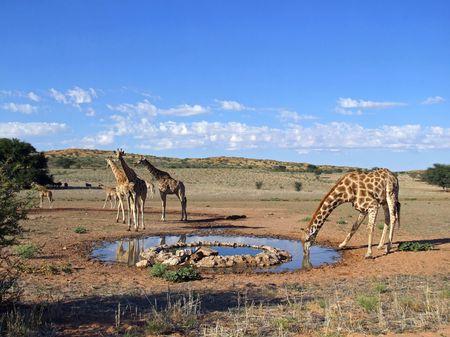 pozo de agua: Giraffe (jirafa) de agua potable en una charca, desierto de Kalahari, Sud�frica