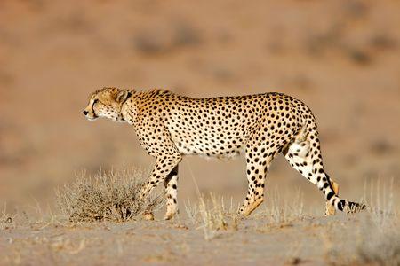jubatus: Stalking cheetah (Acinonyx jubatus), Kalahari desert, South Africa Stock Photo