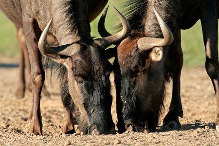 grazer: Portrait of two blue wildebeest (Connochaetes taurinus) drinking water, Kalahari desert, South Africa Stock Photo