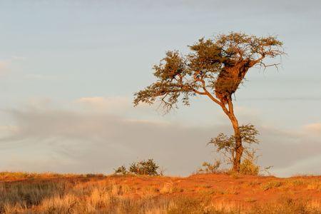 sociable: Un cammello spina albero (Acacia erioloba) su una duna di sabbia rossa, con socievole tessitori nido, nel deserto del Kalahari, Sud Africa