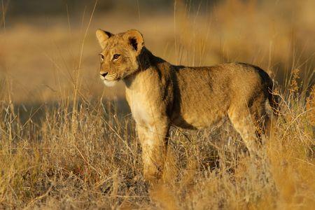 Young lion cub (Panthera leo) in early morning light, Kalahari desert, South Africa photo