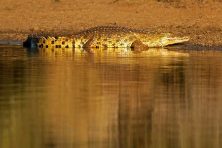 kruger: Nile crocodile (Crocodylus niloticus) basking in early morning sun, Kruger National Park, South Africa Stock Photo