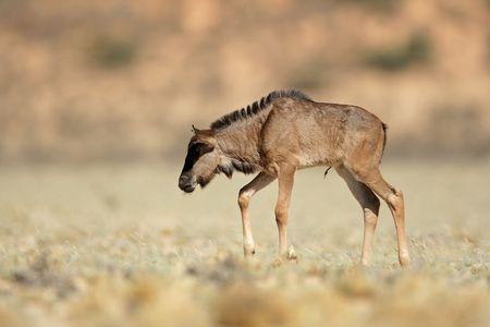 taurinus: A newborn blue wildebeest calf (Connochaetes taurinus), Kalahari desert, South Africa Stock Photo