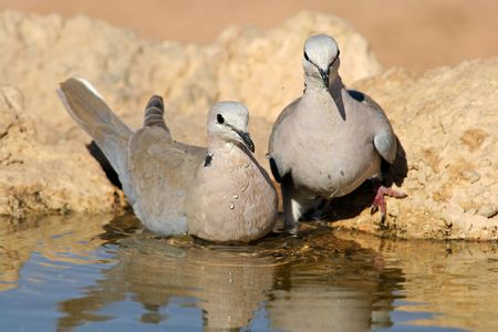 south african birds: Capo tartaruga due colombe (Streptopelia capocollo) acqua potabile, Kalahari, Sud Africa  Archivio Fotografico