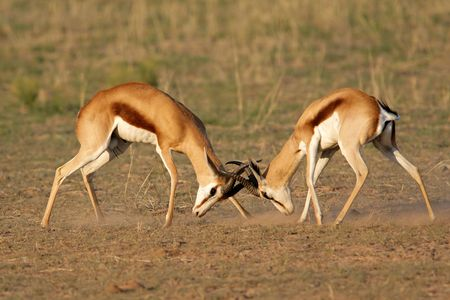 marsupialis: Two male springbok antelopes (Antidorcas marsupialis) fighting for territory, Kalahari desert, South Africa