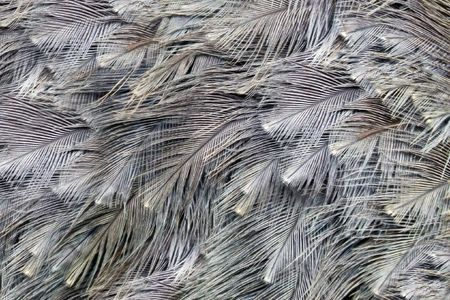struthio camelus: Close-up view of the feathers of an ostrich (Struthio camelus)