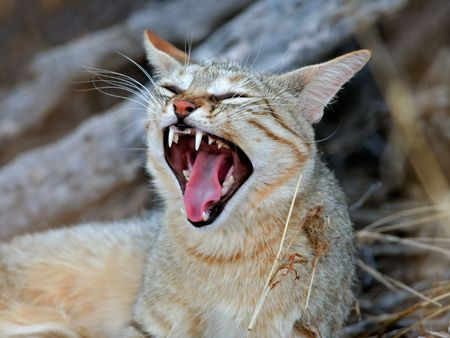 kalahari desert: An African wild cat (Felis silvestris lybica) yawning, Kalahari desert, South Africa