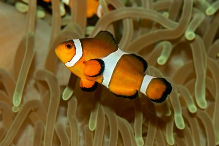 amphiprion ocellaris: Underwater view of an Ocellaris clownfish (Amphiprion ocellaris) and sea anemone