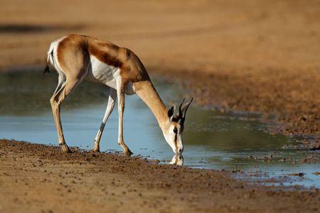 springbuck: A springbok antelope (Antidorcas marsupialis) drinking water, Kalahari desert, South Africa