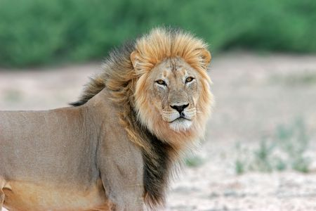 Big male African lion (Panthera leo), Kalahari desert, South Africa Stock Photo - 3436005
