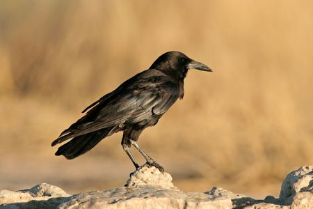 cuervo: Un negro cuervo (Corvus capensis) posado sobre una roca, desierto de Kalahari, Sud�frica
