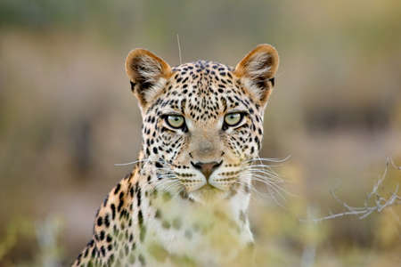 Portrait of a leopard (Panthera pardus), Kalahari desert, South Africa Stock Photo