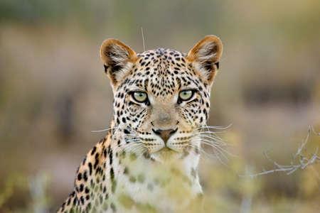 panthera pardus: Portrait of a leopard (Panthera pardus), Kalahari desert, South Africa Stock Photo