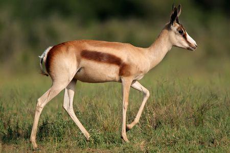 antidorcas: A springbok antelope (Antidorcas marsupialis) with the rare bronze coloration, South Africa Stock Photo