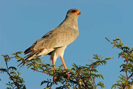 chanting: Pale Chanting goshawk (Melierax canorus) perched on a tree, Kalahari desert, South Africa