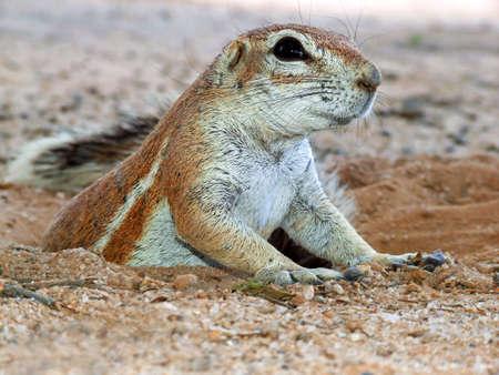 burrow: Close-up of a ground squirrel (Xerus inaurus) emerging from his burrow, Kalahari desert, South Africa