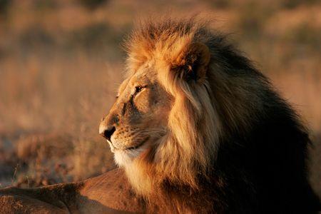 kalahari desert: Portrait of a big male African lion (Panthera leo), Kalahari desert, South Africa  Stock Photo