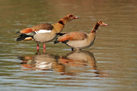 A pair of Egyptian geese (Alopochen aegyptiacus) standing in water, Kruger National Park, South Africa