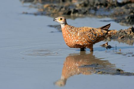Spotted or Burchells sandgrouse (Pterocles burchelli) drinking water, Kalahari desert, South Africa