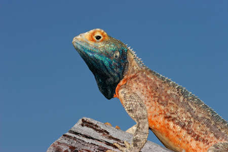 aculeata: Male ground agama (Agama aculeata) in bright breeding colors, Kalahari desert, South Africa  Stock Photo