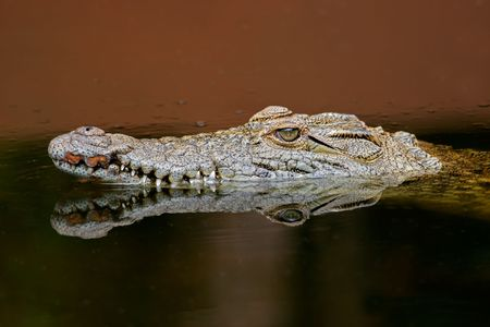 crocodylus: Portrait of a nile crocodile (Crocodylus niloticus) in  with reflection, South Africar Stock Photo
