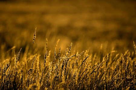 gramineas: Golden pastos (Shmidtia kalihariensis) en la primera hora de la ma�ana la luz, el desierto de Kalahari, Sud�frica  Foto de archivo