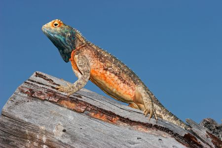 breeding ground: Male ground agama (Agama aculeata) in bright breeding colors, Kalahari desert, South Africa