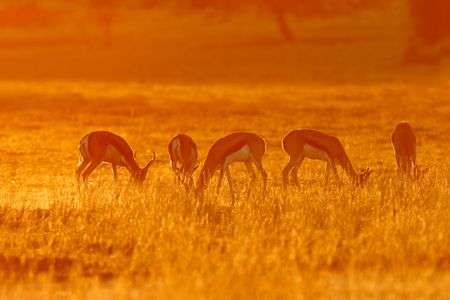 Springbok antelopes (Antidorcas marsupialis) in dust at sunrise, Kalahari desert, South Africa Stock Photo - 3668330