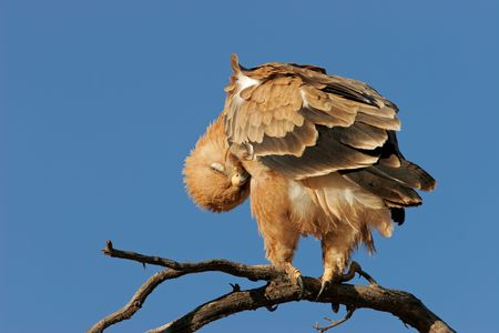 Preening tawny eagle (Aquila rapax) perched on a branch, Kalahari desert, South Africa Stock Photo - 3668333