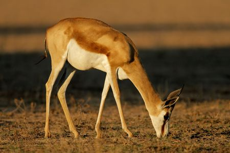 marsupialis: A springbok antelope (Antidorcas marsupialis) grazing, Kalahari desert, South Africa
