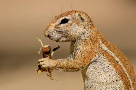 Close-up of a feeding ground squirrel (Xerus inaurus), Kalahari desert, South Africa photo
