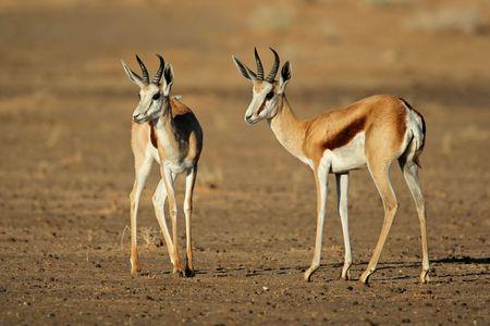 antidorcas: Two springbok antelopes (Antidorcas marsupialis), Kalahari desert, South Africa