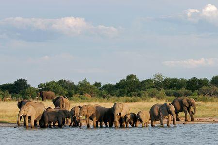 zimbabwe: Manada de elefantes africanos (Loxodonta africana) en un abrevadero, el Parque Nacional de Hwange, Zimbabwe, en el sur de �frica