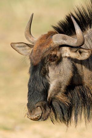 wildebeest: Portrait of a blue wildebeest (Connochaetes taurinus), Kalahari desert, South Africa